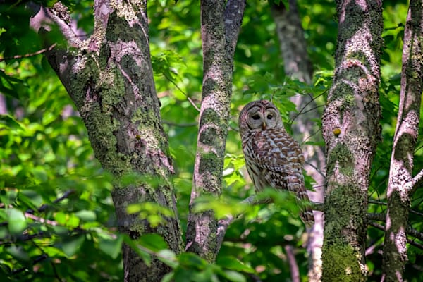 Barred Owl in Sieur Du Monts by Rick Berk