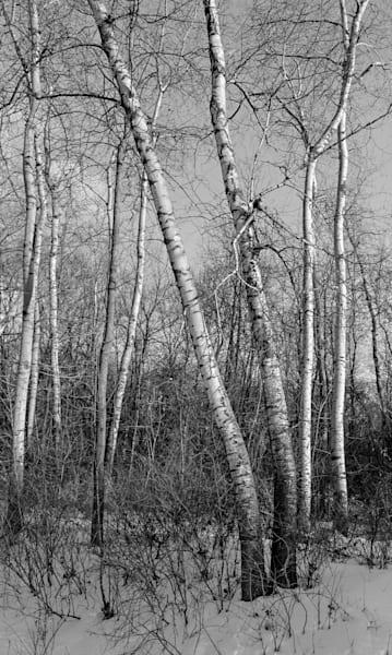 Birch Grove, Minnesota Photography Art | Namaste Photography