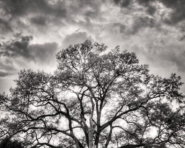 Carolina Tree