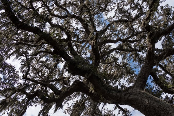 Live Oak Tree Detail, Damon, Texas