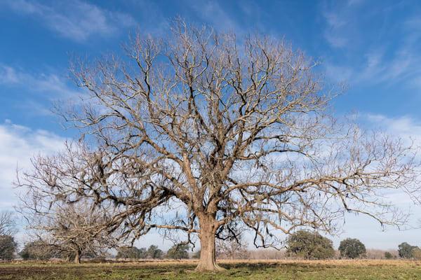 Live Oak Tree Pasture, Damon, Texas