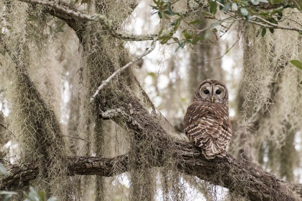 Barred Owl in Live Oak Tree, Damon, Texas