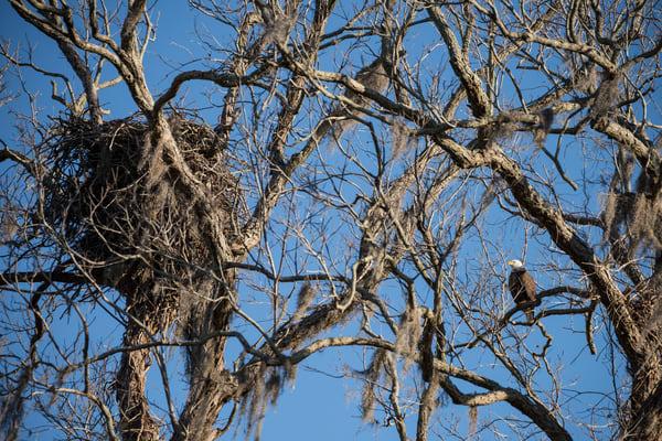 Bald Eagle and Nest, Damon, Texas