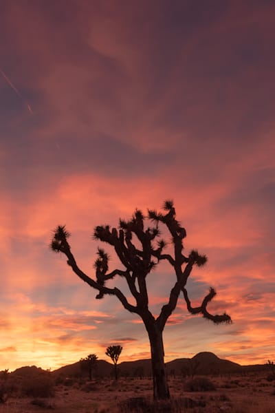 """Joshua Tree Sunset Vertical"" Photograph for Sale as Fine Art."