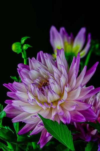 Dahlia Purple Full Photo Print