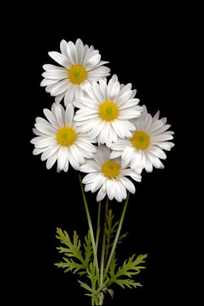Daisy Bunch Photo Print