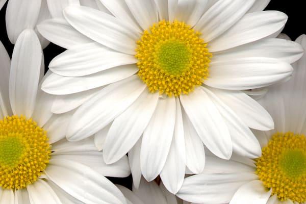Daisy Bunch Closeup Photo Print