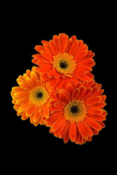 Gerbera Orange Trio Photo Print