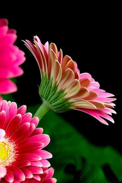 Gerbera Pink PIC Photo Print