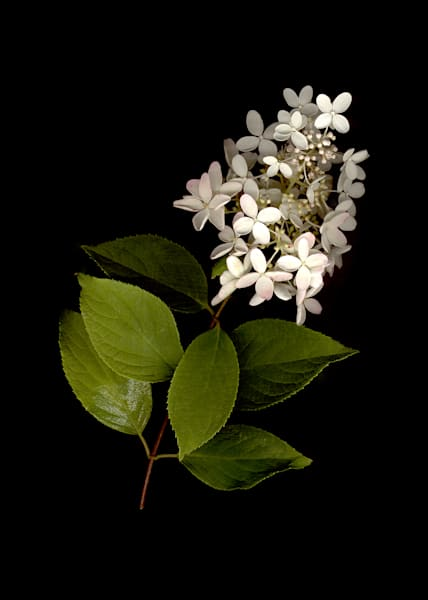 Hydrangea White Pee Gee