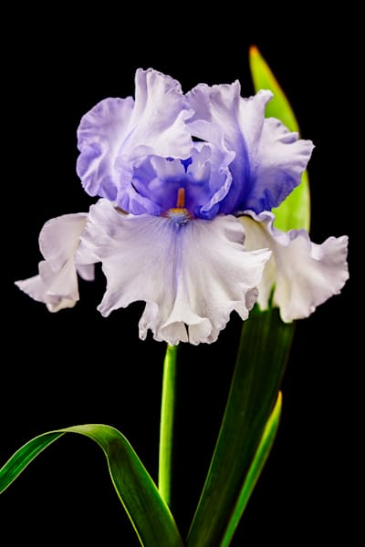 Iris Bearded Full Photo Print