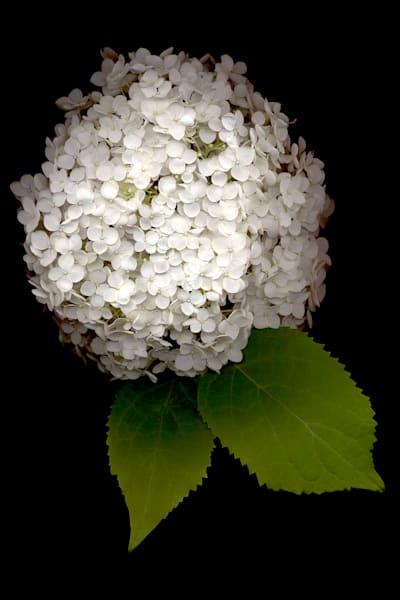 Hydrangea White Annabelle
