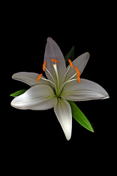 Lilly Asiatic White