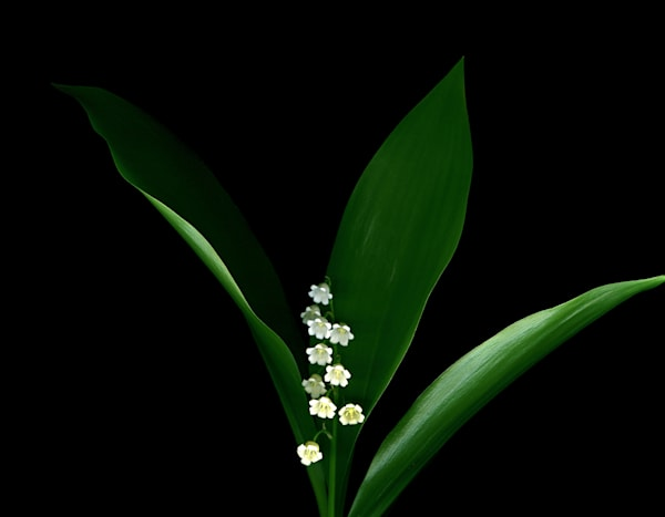 Lilly of the Valley H Photo Print