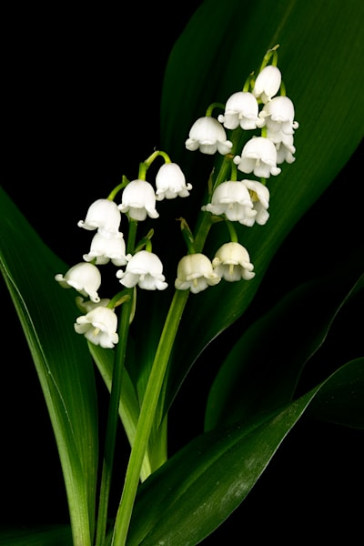 Lilly of the Valley V Photo Print