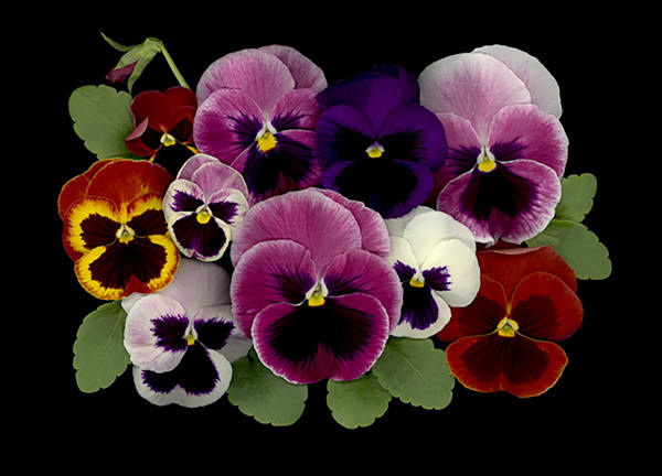 Pansy Bunch