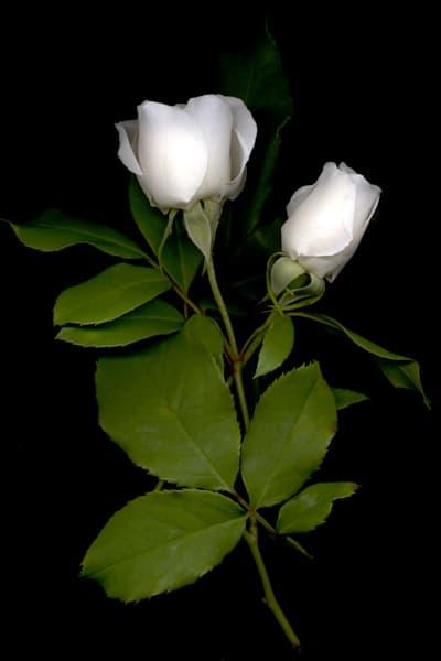 Rose White Bud Duo Photo Print