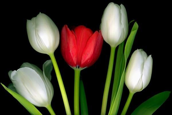 Tulip 1 Red