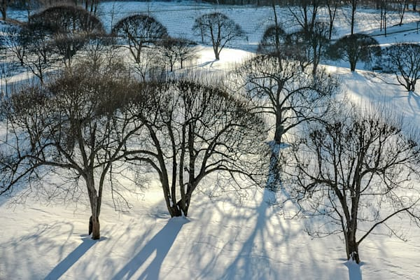 Orchard in Snow with Shadows