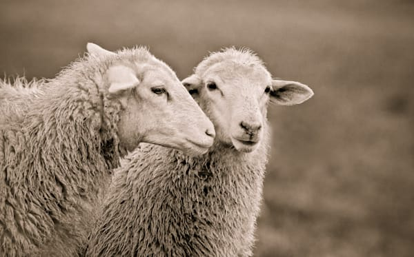 Whispering Sheep