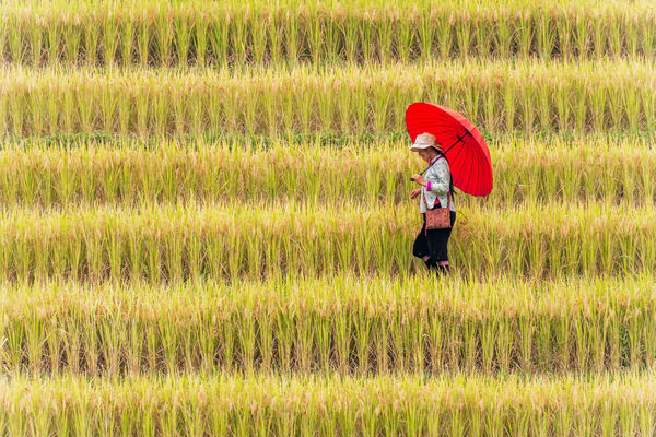 A Young Lady in Stepped Rice Field