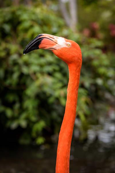 Flamingo Grandeur