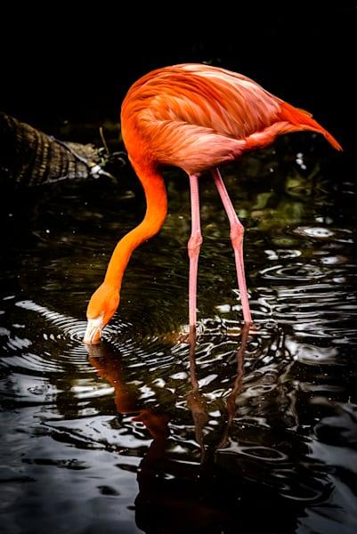 Imbibing Flamingo