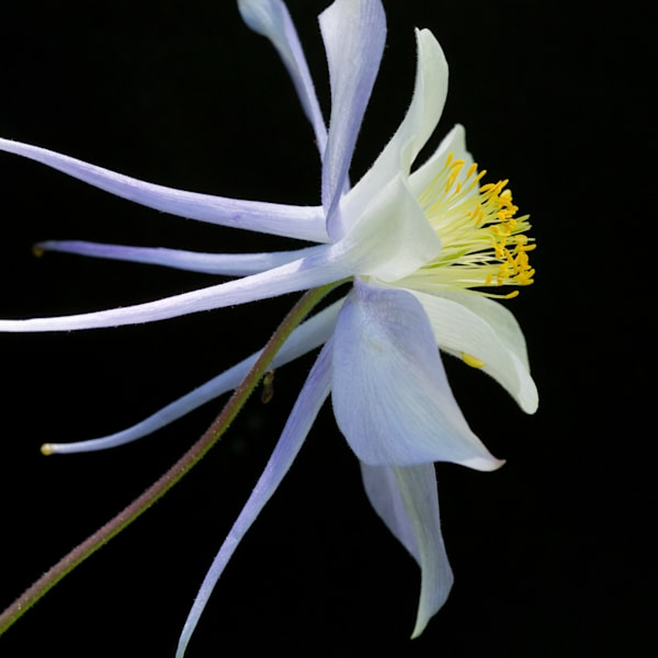 Profile of a Columbine