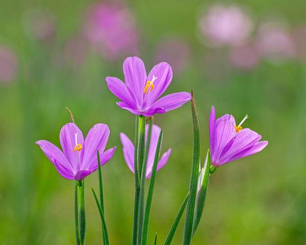 Grass Widow  or blue-eyed grass wildflowers
