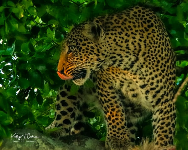 Leopard 8235