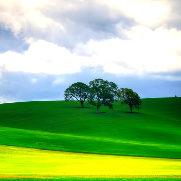 Trees And Yellow Mustard