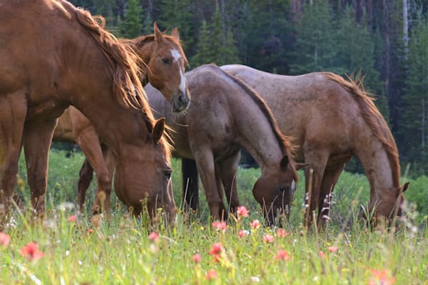 Fine Art Photographs of Horses and Mules for Sale | Wapiti Wildscapes