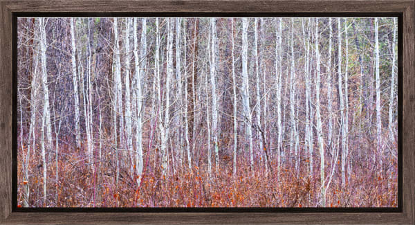 Leafless Aspen Abstract (1810299ABND8) 2-1 SNBW Photographic for Sales as Fine Art Print