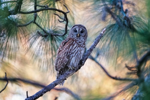 Owl of the Pines