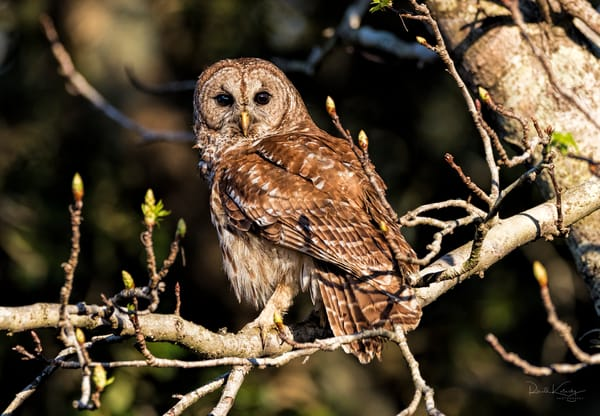 Barred Owl at Sunset