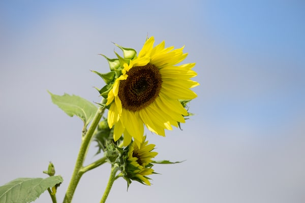 Sunflower.1