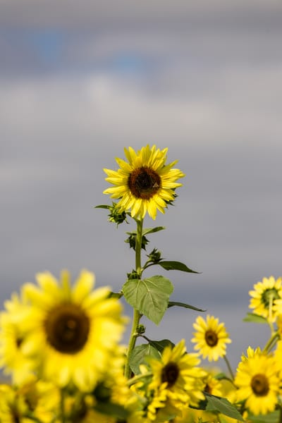 Sunflower.6