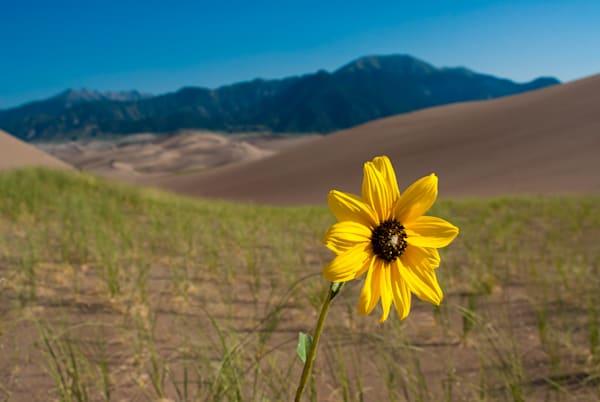 San Dunes Sunflower Art | Brandon Hirt Photo