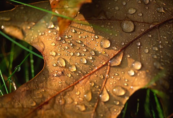 Morning Dew on Oak Leaf photograph for sale as Fine Art