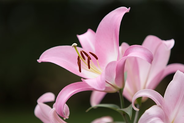 Pink Lily in Full Bloom - shop fine art photographs