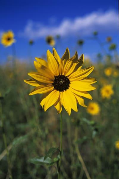 Front Range Sunflower Art | Brandon Hirt Photo