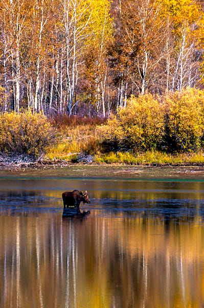 Yellowstone Moose Art | Brandon Hirt Photo