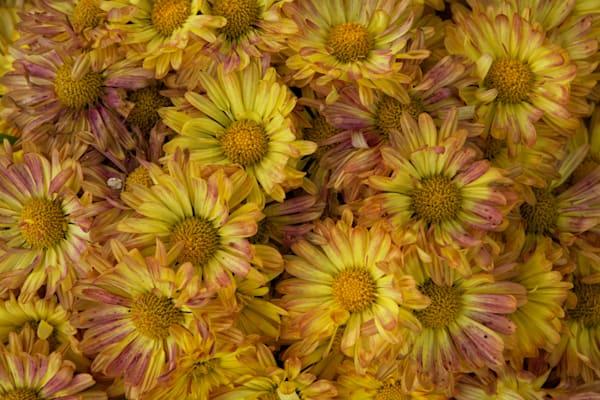 Chrysanthemum Art | Brandon Hirt Photo