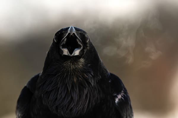 Ravens I have known!