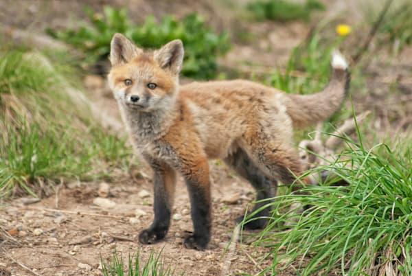 Cute Fox Colorado Art   Brandon Hirt Photo
