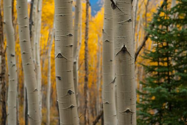 Aspen Pines Art | Brandon Hirt Photo