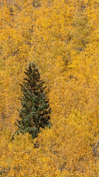 Aspen Pine Art | Brandon Hirt Photo
