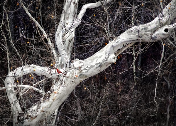 Golden Light Collection | Cardinal and Winter's Bones. David Zlotky's fine art, color photograph of a brilliant cardinal in sycamores.