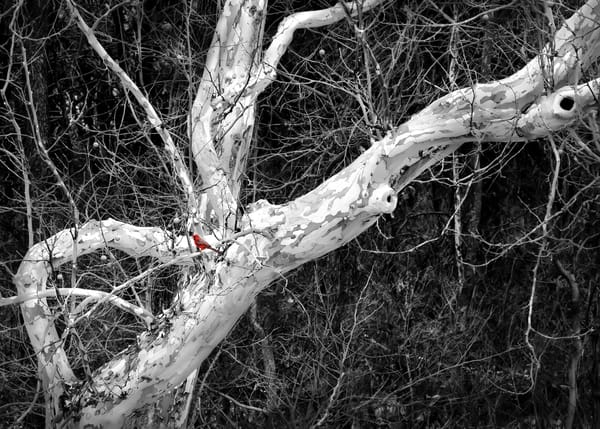 Luminous Light Collection - bw | Cardinal and Winter's Bones -bw. A bright red Cardinal in winter's bones of the sycamore, by David Zlotky