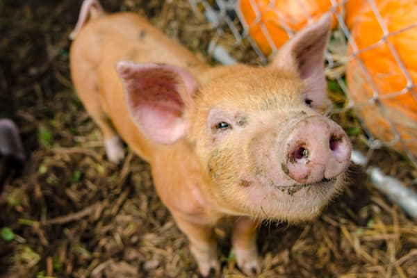 Snickers The Pig Art | Brandon Hirt Photo